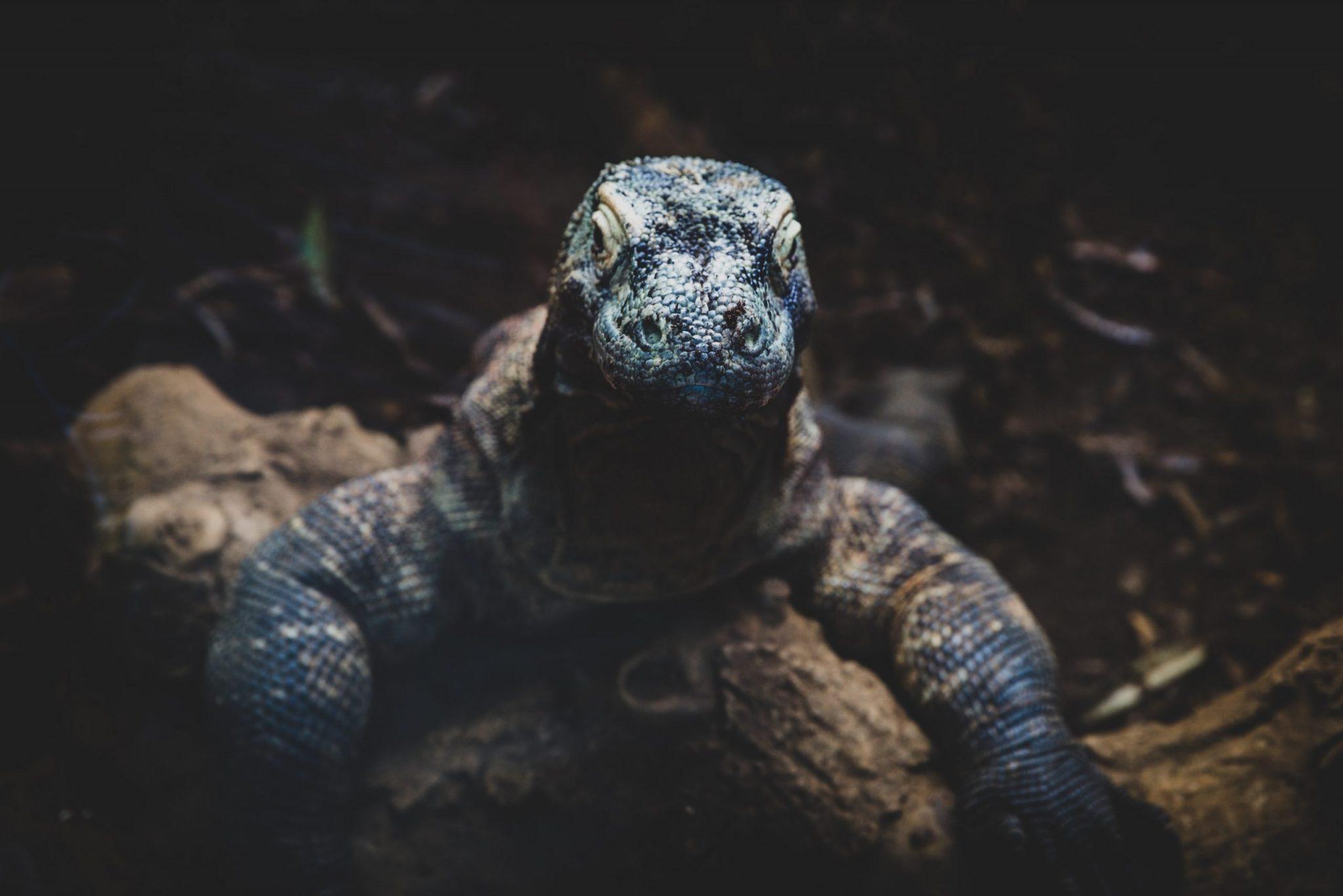Dragon de Komodo 1