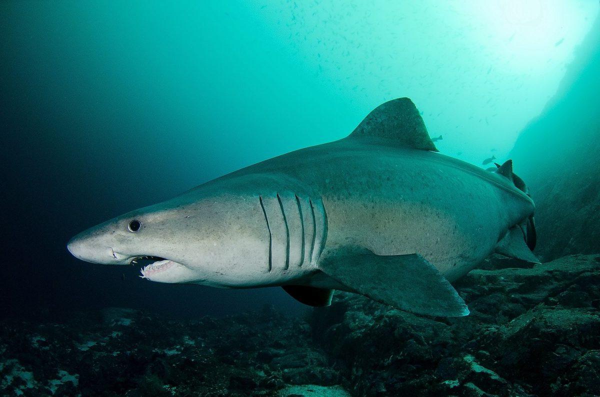 buceo en el hierro, tiburon