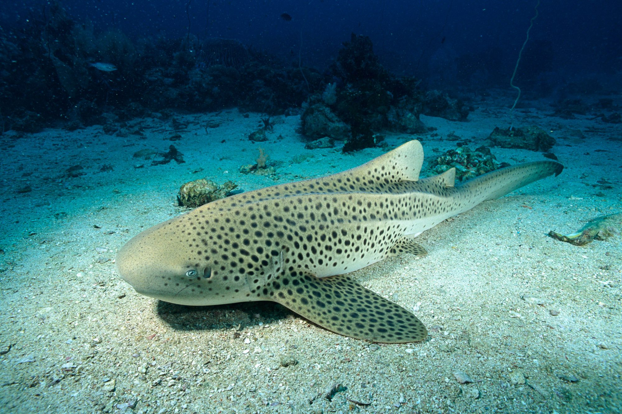 buceo krabi, tiburon leopardo