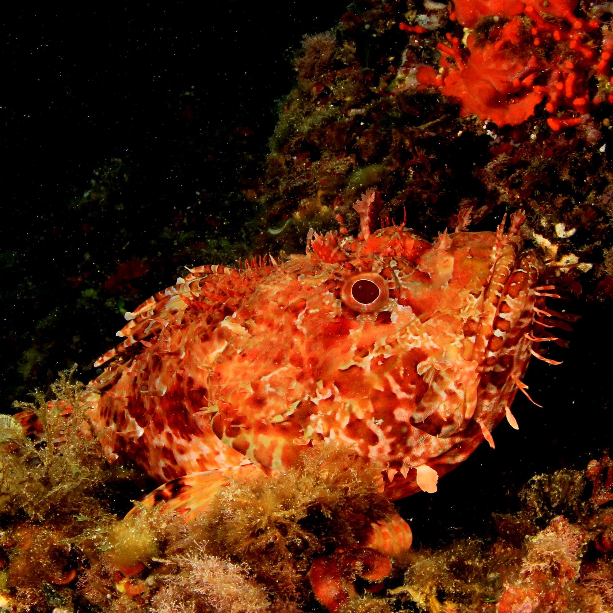 buceo en mallorca, pez escorpion