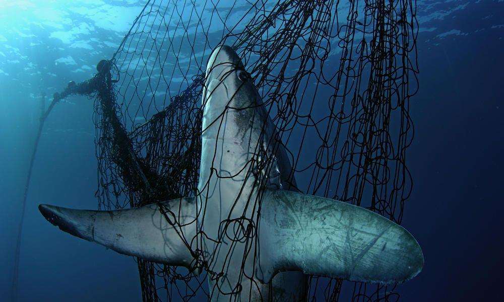 conservacion tiburones, redes