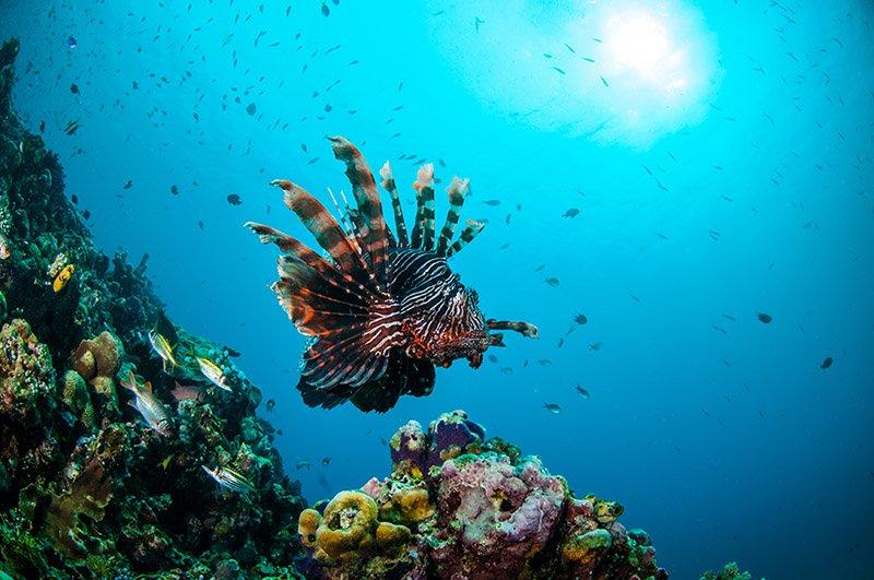 dahab lionfish