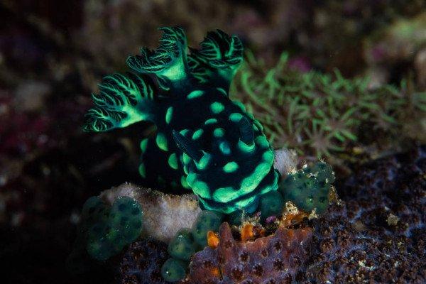 nudibranquio nembrotha