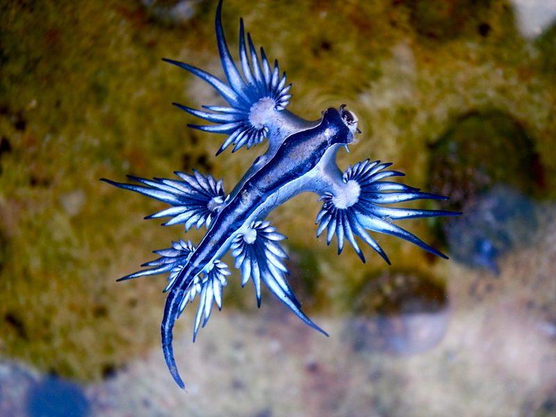 nudibranquios glaucus atlanticus