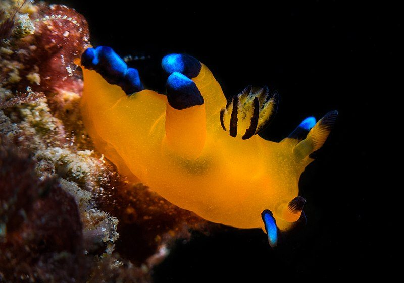 nudibranquios pikachu