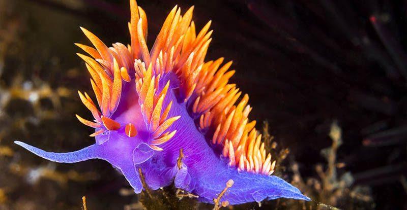 nudibranquios flabellina