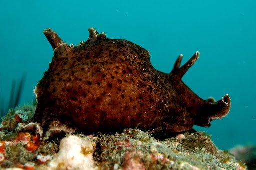 liebre de mar