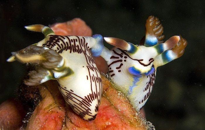 nudibranquios reproduccion