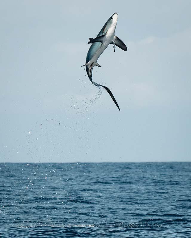 malapascua buceo con el tiburon zorro saltando