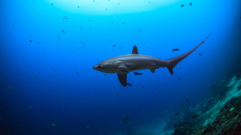 malapàscua buceo tiburon zorro