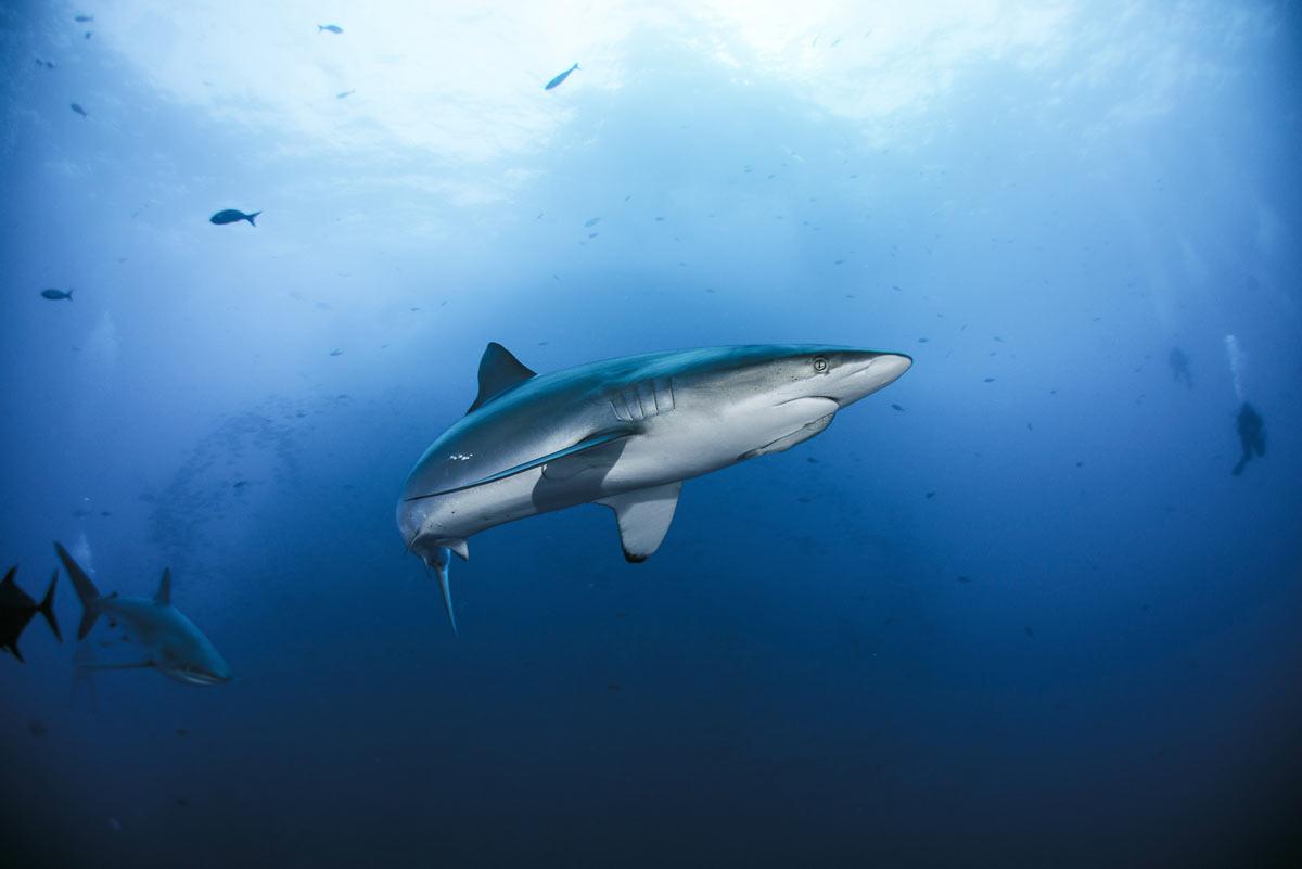 inmersion en socorro tiburon sedoso
