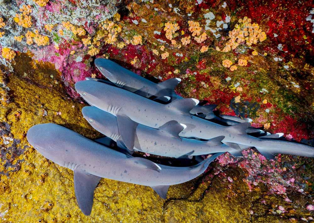 tiburones en roca partida, socorro buceo