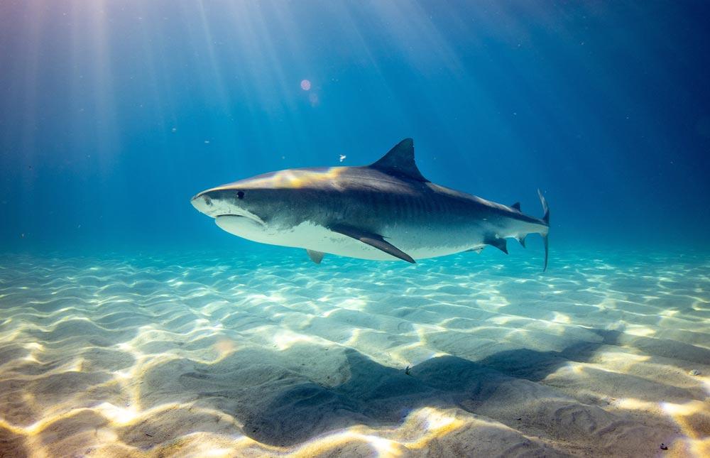 bucear con tiburones tigre