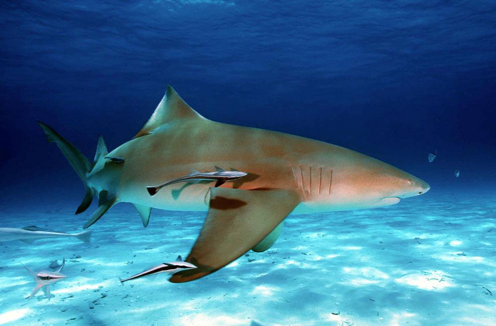 buceo tiburon limon