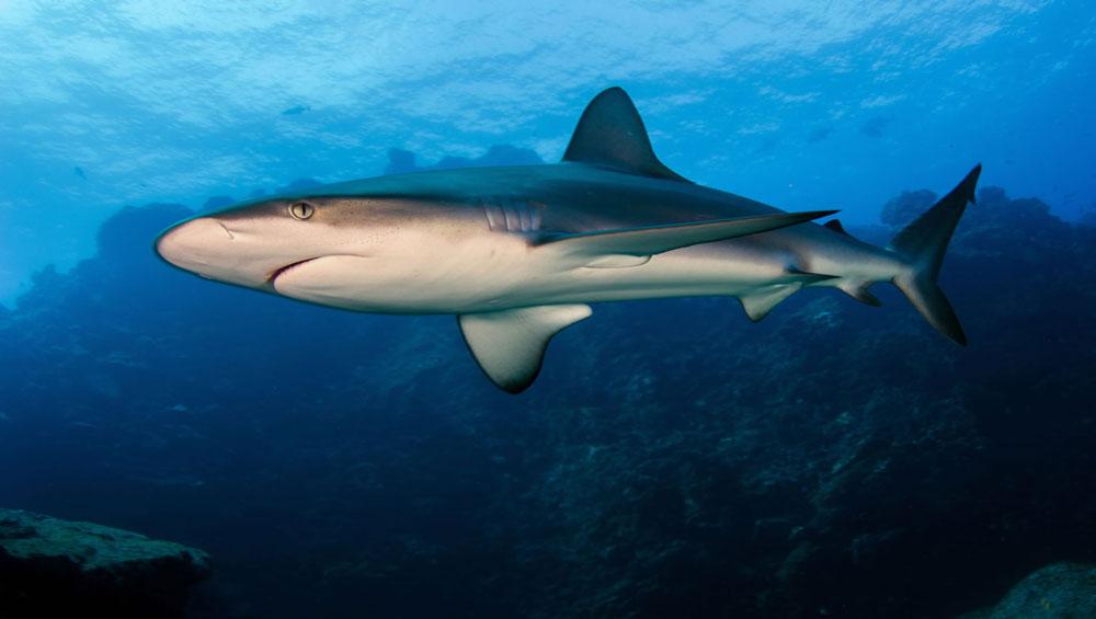 buceo tiburon galapagos
