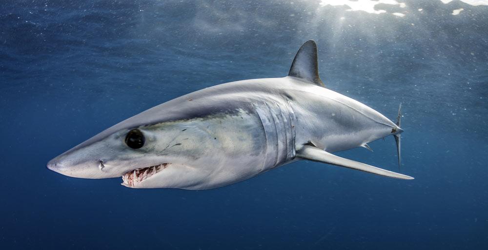 buceo tiburon mako