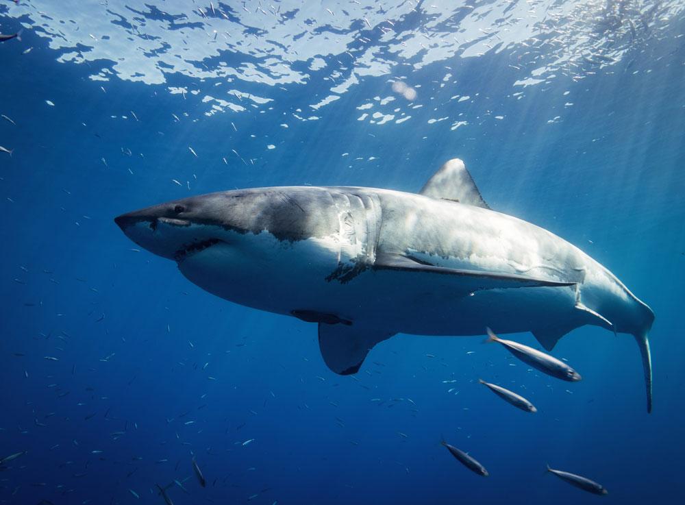 tiburon blanco buceo mejico