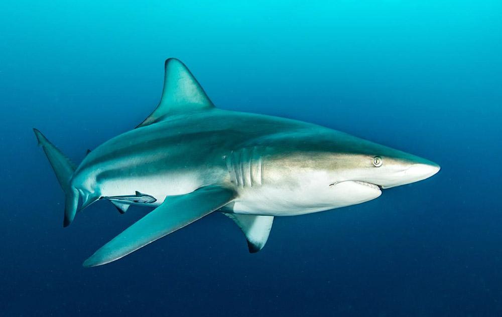 buceo mejico tiburones