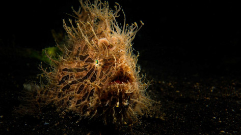 buceo lembeh frogfish